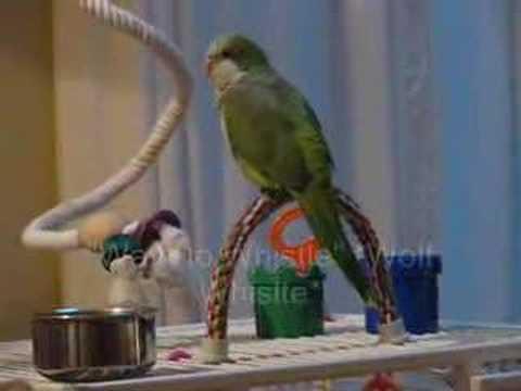 Quaker Parrot Talking