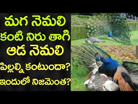 How do peacocks give birth? | Unknown Facts of Peacock | VTube Telugu
