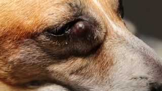 An old Jack Russell has a large lacrimal sac eye lump