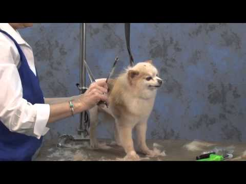Dog Grooming - How to Create a Lion Trim on a Pet Pomeranian