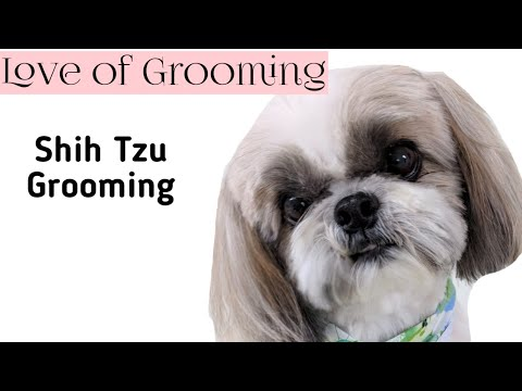 Trimming between a Shih Tzu's eyes