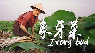 蔬菜中的珍品,形似象牙的草芽,你们有吃过吗?【滇西小哥】
