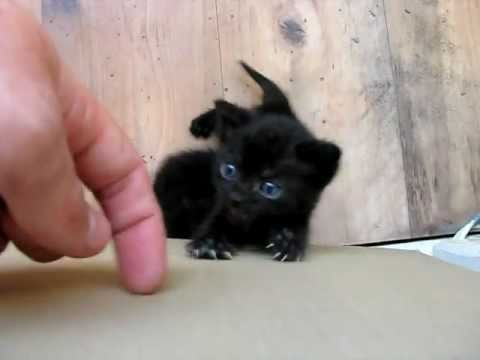 Cute little kitten crying for attention :)