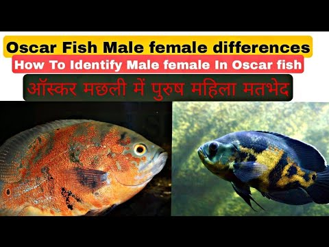 How to difference between Oscar fish male or female , Hindi /Urdu with English subtitles.