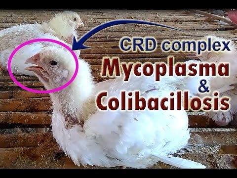 Mycoplasma Gallisepticum,  Mycoplasma in Chickens, POULTRY DISEASES  SYMPTOMS