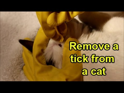 Remove a tick from a cat