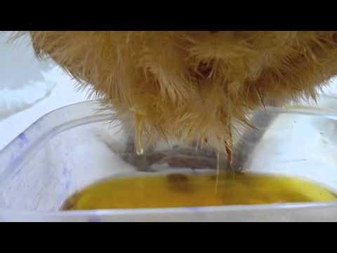 Sick Hen with Fluid in Abdomen 271010