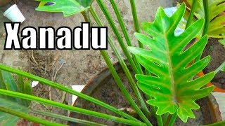 How to Care Philodendron Xanadu | Indoor Plant | Poisonous Plant (Urdu-Hindi)