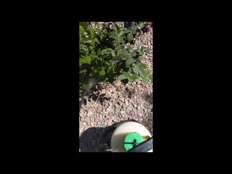 Rose Bushes Bugs How To Kill Aphids Rose Bushes Care