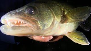 Walleye At Night Ice Fishing Fort Peck 2016, Jawjacker Video