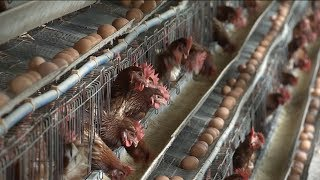 Official: Chinese mainland free from contaminated eggs