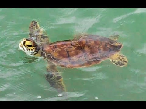 Green Sea Turtles swimming in Port Aransas Texas Also Jellyfish & Dolphin