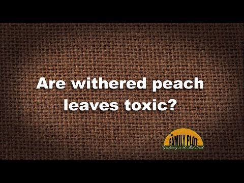 Q&A - Are withered peach leaves toxic?