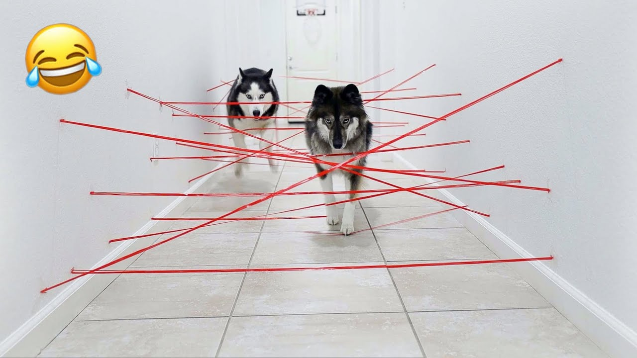 My Huskies Attempt Impossible Laser Maze!