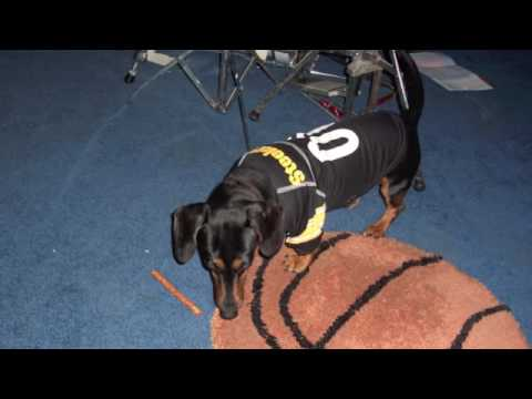 Miniature Dachshund, Boxer, Steelers