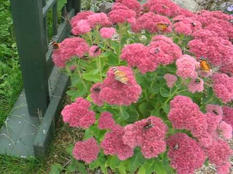 Bees and Butterflies on Sedum in Holyrood  Newfoundland, Sept 2012