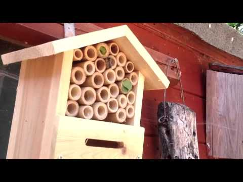 Leaf Cutter Bees making a nest