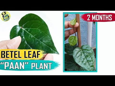 BETEL LEAF PLANT at home | How to Grow Betel plant: Paan Plant Care Tips and Propagation in English