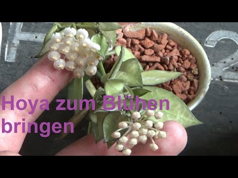Hoya Wachsblume zum Blühen bringen Porzellanblume Hoya blüht nicht Blüte Hoya