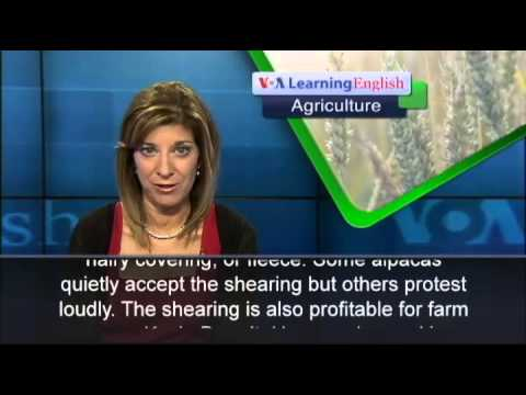 American Farmers Raise Alpacas for Fun and Profit