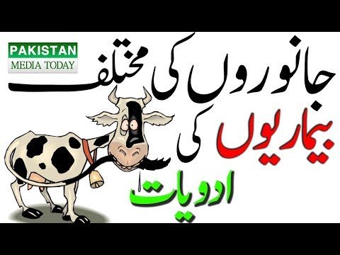 Cattle (Cows Bulls Buffaloes) Diseases Treatment & Medicines by Animals Dr.  & Expert Farmer in Urdu