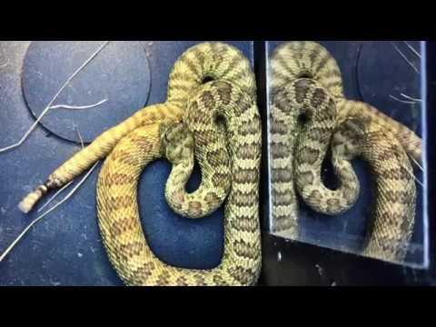 Mandy Rattlesnake's Den