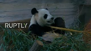 LIVE: It's Bamboo time! Berlin Pandas munch on their morning treat