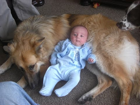 German Shepherd Dogs and Babies Best Friends - Cute Friendship Dog and Baby
