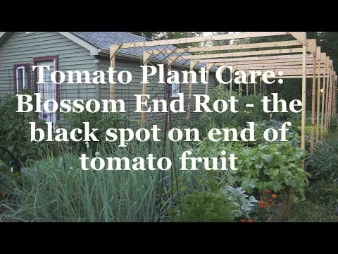 Tomato Plant Care: Blossom End Rot - the black spot on end of tomato fruit