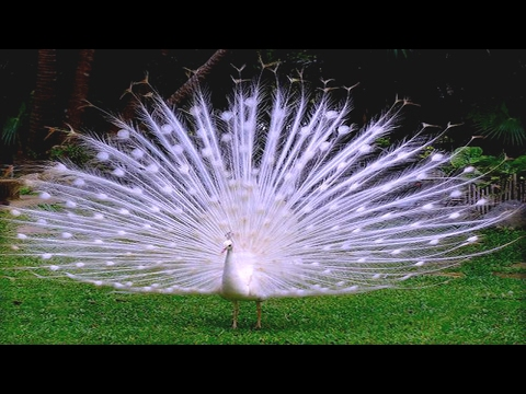 Amazing White Peacock Spreads it's Tail Feathers and Making Sound Board