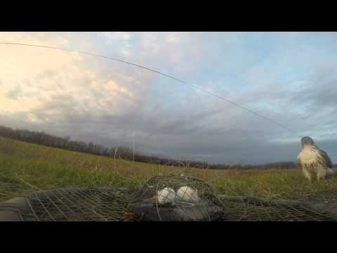 Gopro:Trapping the Red-tailed Hawk