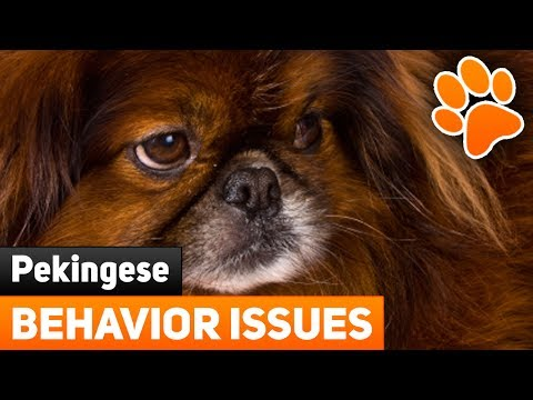 Pekingese Behavior Issues - 5 Tips For Taming Aggression In Pekingese Dogs