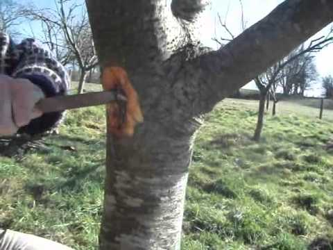 How to get rid of fruit tree canker