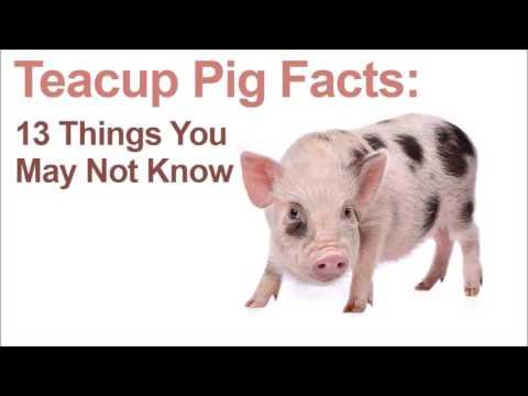 13 Teacup Pig Facts | PetsStore.net