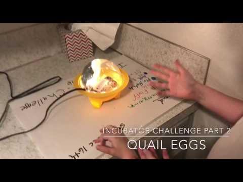 Quail Egg Incubator Challenge Part 2