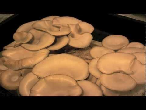 Mushrooms Time Lapse - Oyster Mushroom Time Lapse video