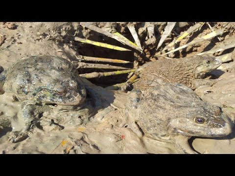 How to make frog trap for catching big frogs-A man catching big frog using deep hole trap-frog trap