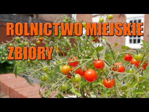 Rolnictwo Miejskie Zbiory i Podsumowanie Pomidory w workach Pomidory w workach