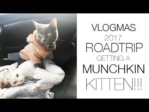 VLOGMAS   ROADTRIP GETTING MUNCHKIN KITTEN