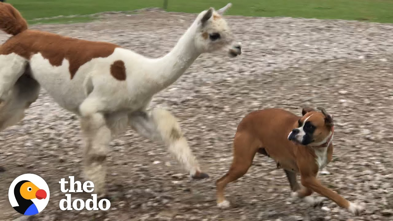 If You See This Alpaca .... RUN!!!!! | The Dodo
