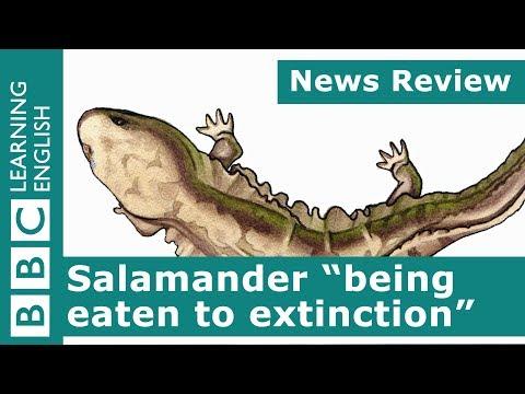 BBC News Review: Salamander 'being eaten to extinction'
