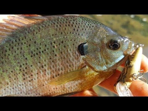 Bluegill, Panfishing, and Bass Fishing with One of the Best Shallow Water Lures