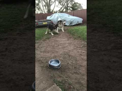 Dogs play fighting stops for a synchronised sneeze