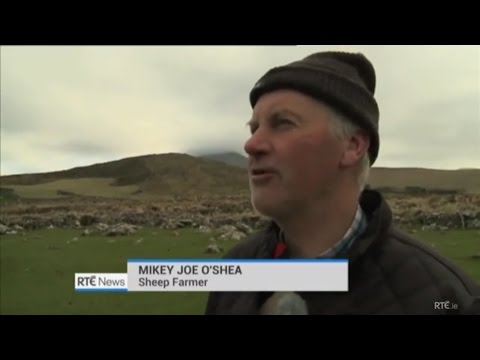 IRISH FARMER'S STRONG ACCENT IN COUNTY KERRY IRELAND - MISSING SHEEP