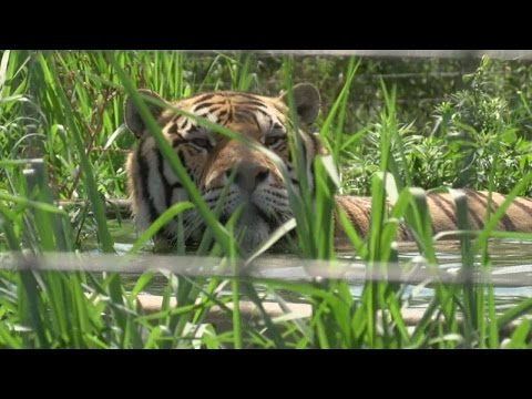 Exotic cats try and beat the heat