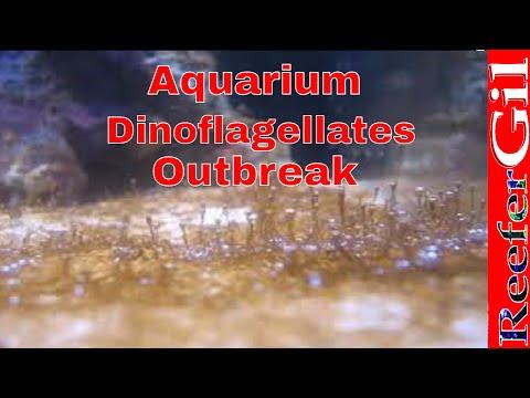 How To Treat Dinoflagellates-Saltwater Aquarium