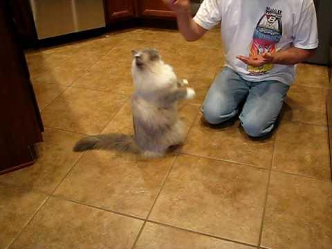 Ragdoll Cat Training Tricks Funny Beg Lay Down