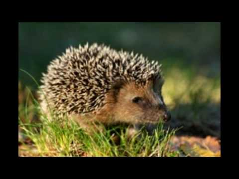 Hibernation in Hedgehogs Explained So Very Simply