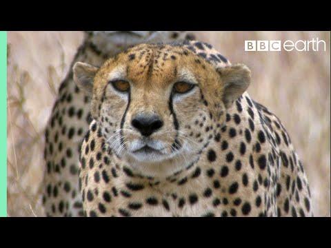 Three Cheetahs Vs Ostrich | Life | BBC Earth