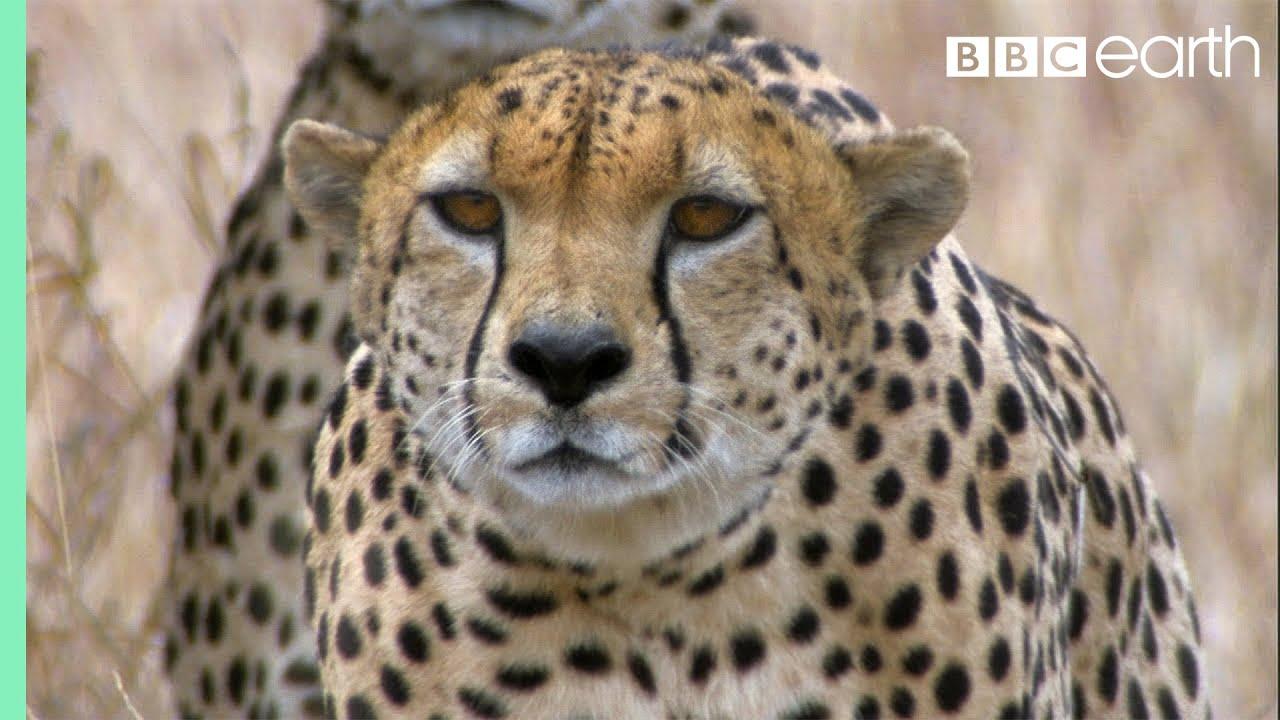 Three Cheetahs Vs Ostrich   Life   BBC Earth